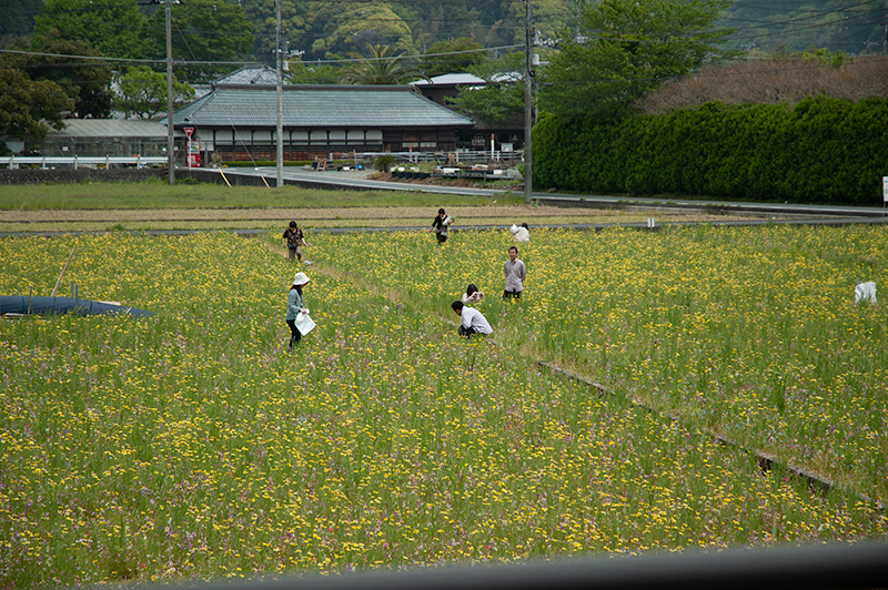 松崎町田んぼをつかった花畑