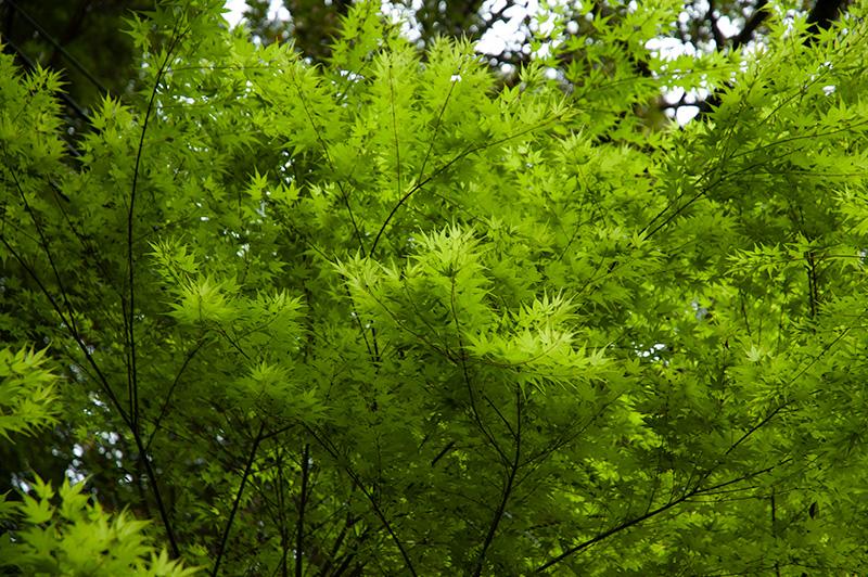 河津七滝の新緑