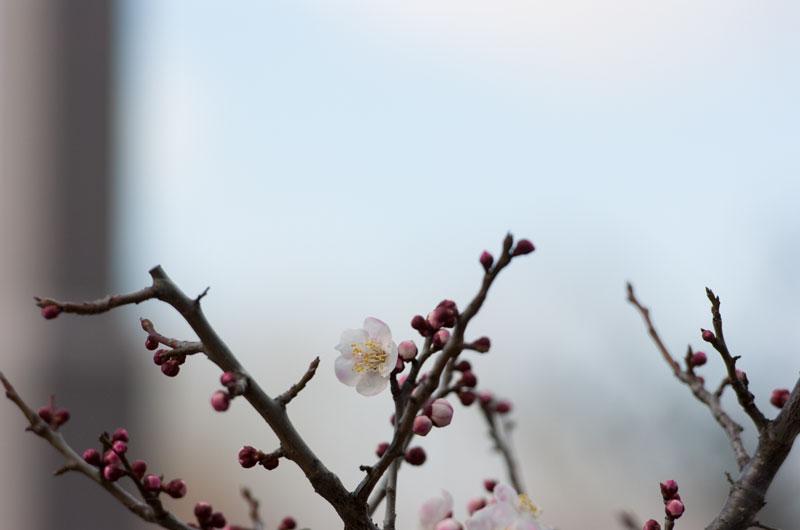 大阪城公園 梅林 鶯宿