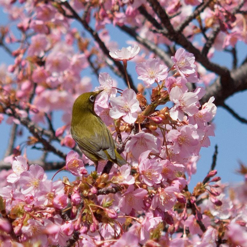 長居公園の河津桜とメジロ