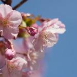 長居公園の河津桜が満開!ピンクの桜とメジロのコラボがいい感じ♪