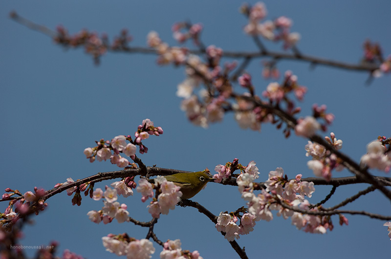 長居公園 桜とメジロ