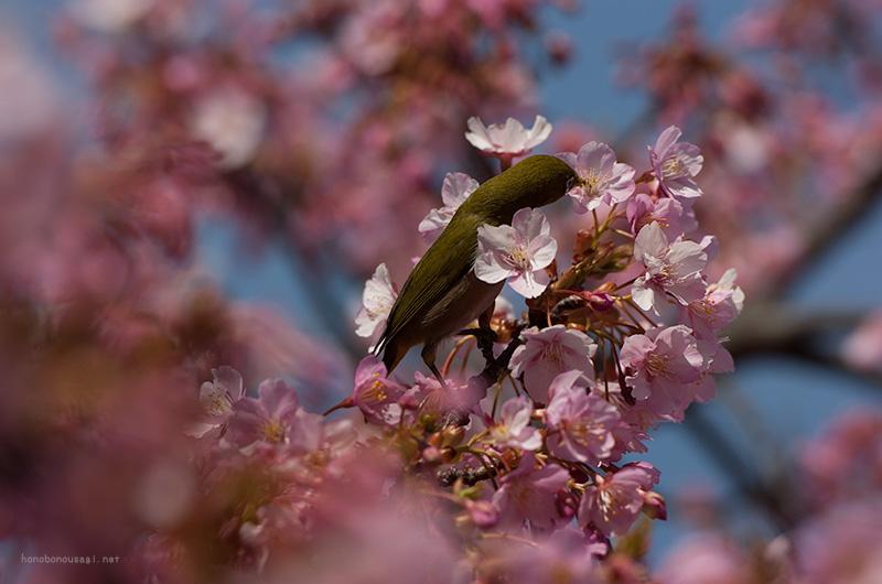 長居公園 河津桜とメジロ