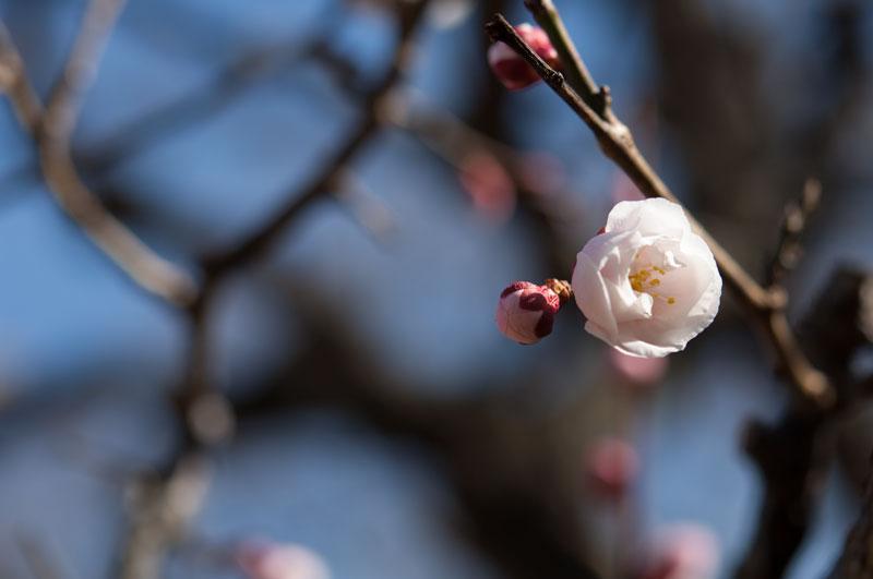 大阪市立長居植物園 梅