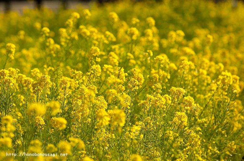 大阪市立長居植物園 菜の花
