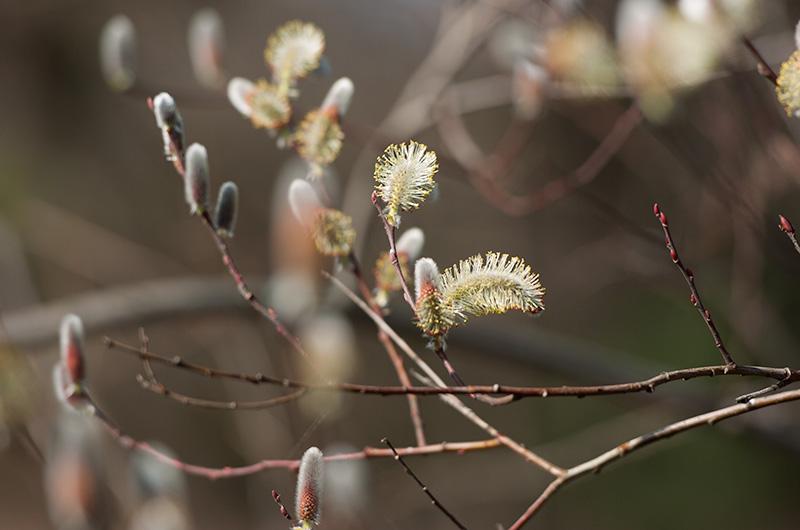 大阪市立長居植物園 フリソデヤナギ