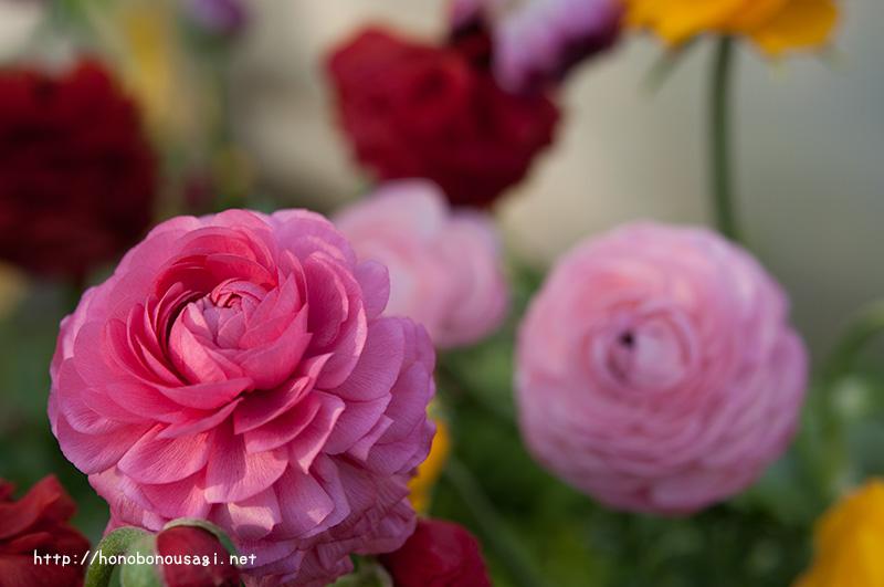大阪市立長居植物園 早春の草花展