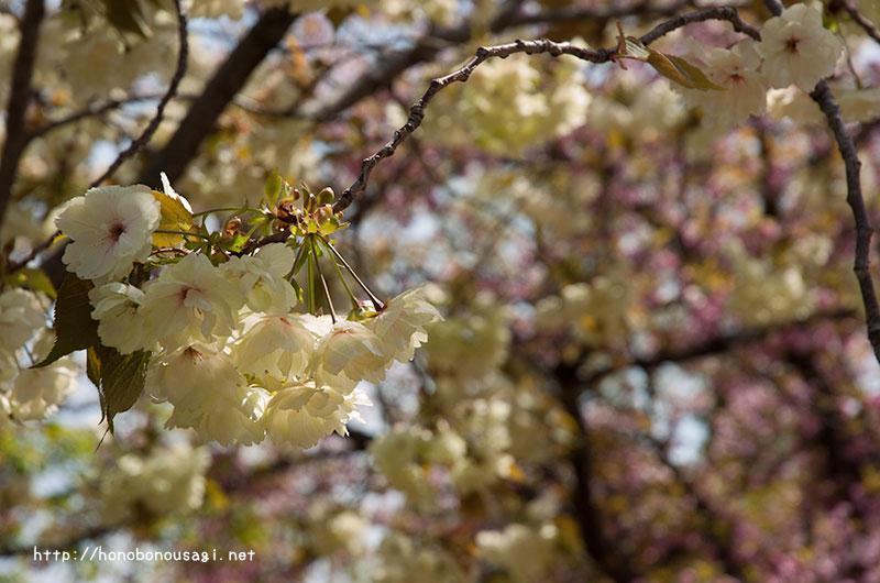 大阪造幣局桜の通り抜け 鬱金