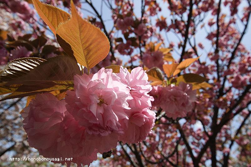 大阪造幣局桜の通り抜け 関山