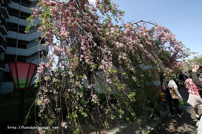 大阪造幣局桜の通り抜け 雨情枝垂