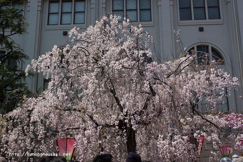 大阪造幣局桜の通り抜け 八重紅枝垂
