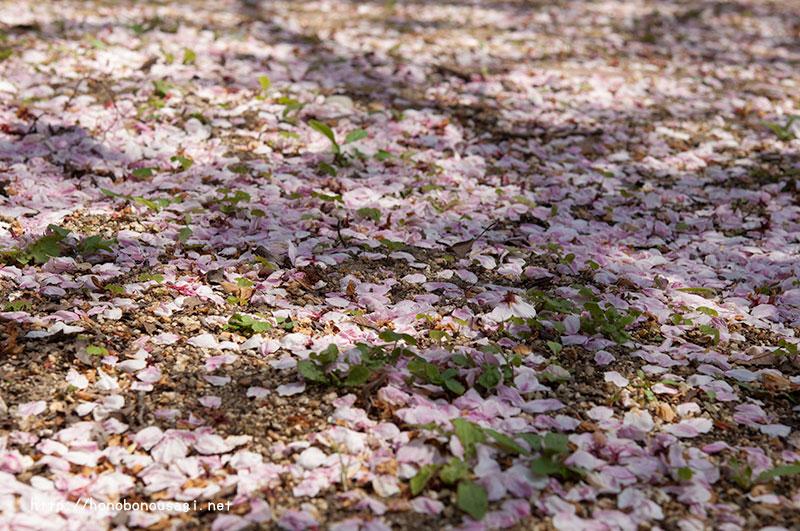 大阪造幣局桜の通り抜け 桜の絨毯
