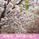 大阪造幣局「桜の通り抜け」攻略!2017年の見どころとおすすめのさくらたち