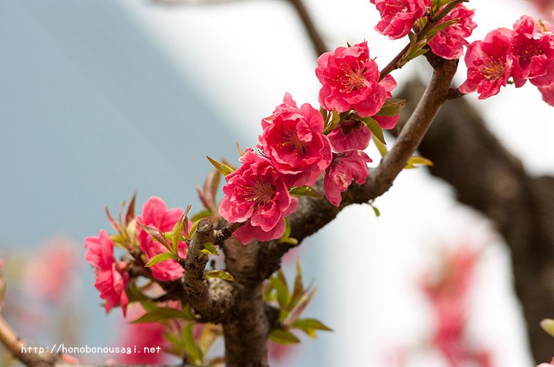 大阪城公園 桃園 ピンク