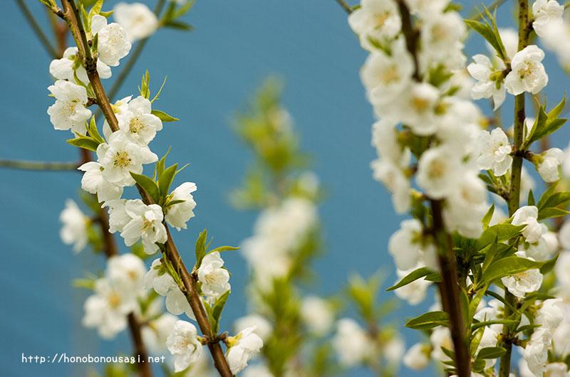 大阪城公園 桃園 白色