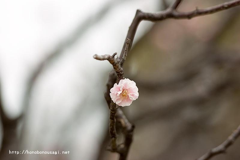 大阪城公園 梅林 楊貴妃