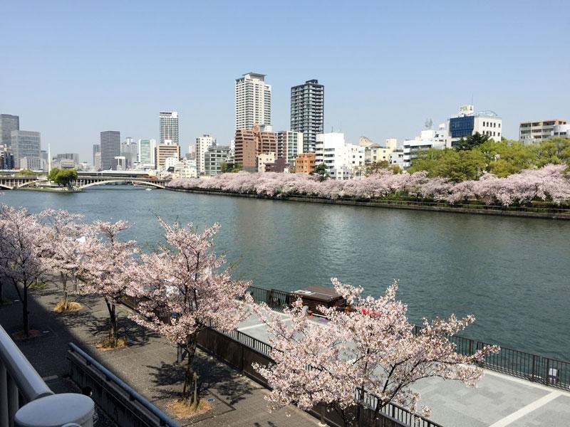 大川沿い 桜 天満橋駅