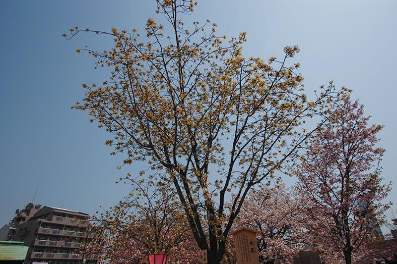 造幣局の桜の通り抜け 2017 水晶