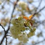 大阪造幣局の桜の通り抜け2017に行ってきました!今年はソメイヨシノもまだ満開でゼイタクな気分