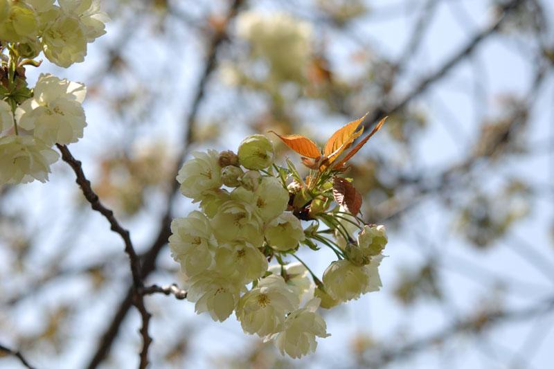 造幣局の桜の通り抜け 2017 今年の花 鬱金