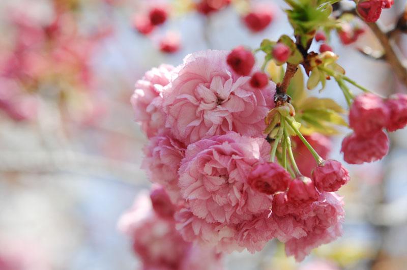 造幣局の桜の通り抜け 2017 松前紅紫