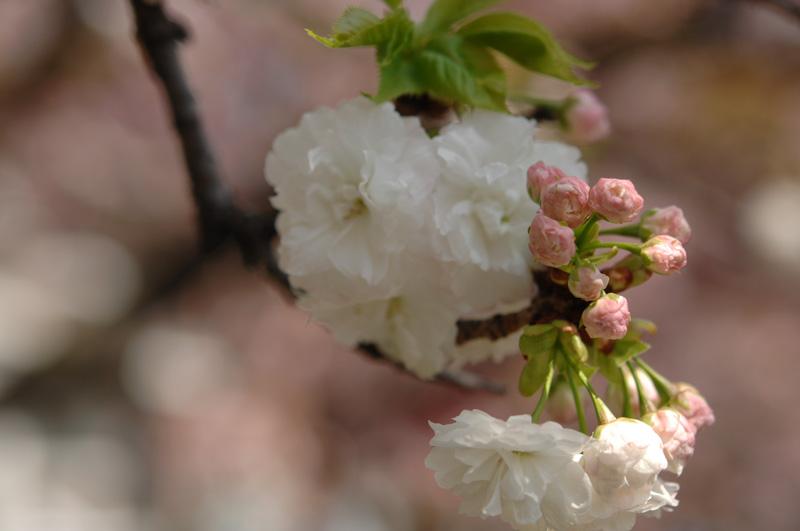 造幣局の桜の通り抜け 2017 満開