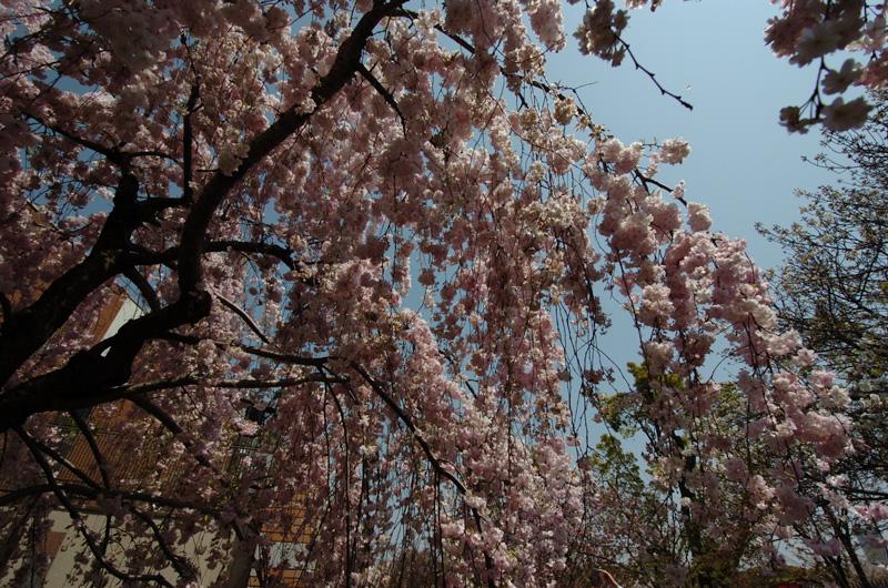 造幣局の桜の通り抜け 2017 満開 枝垂れ桜