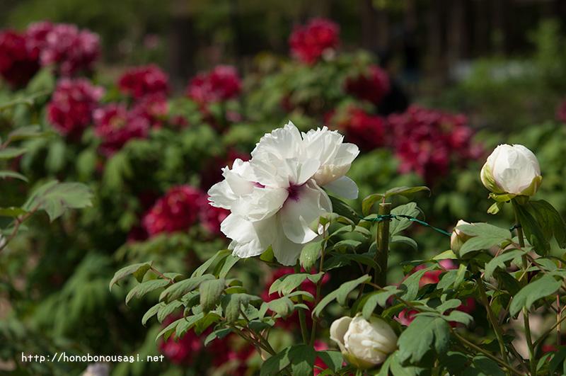 長居植物園 牡丹ボタンの花