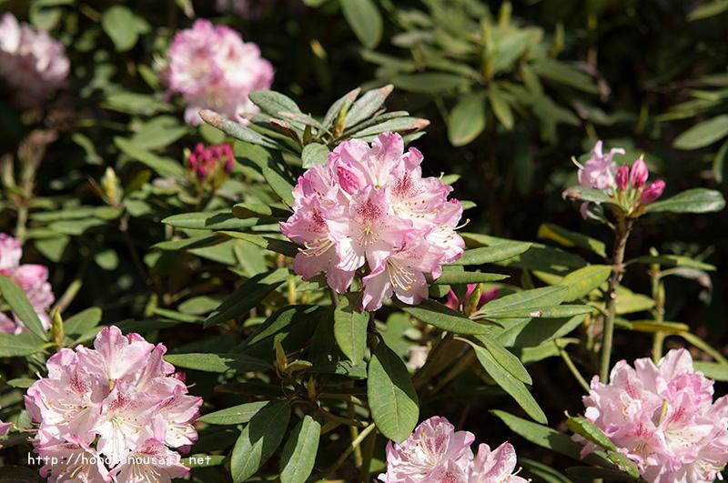 長居植物園 芍薬シャクヤクの花