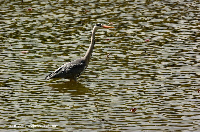 長居植物園 水鳥