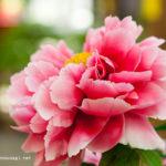 牡丹&シャクナゲ&ライラックの花が満開!長居植物園へ行ってきました