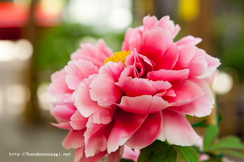 長居植物園 牡丹ボタンの花 ボタン展