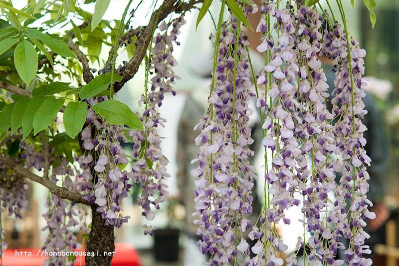 長居植物園 藤の花