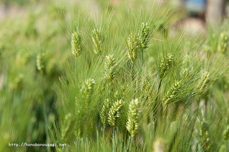 長居植物園 麦
