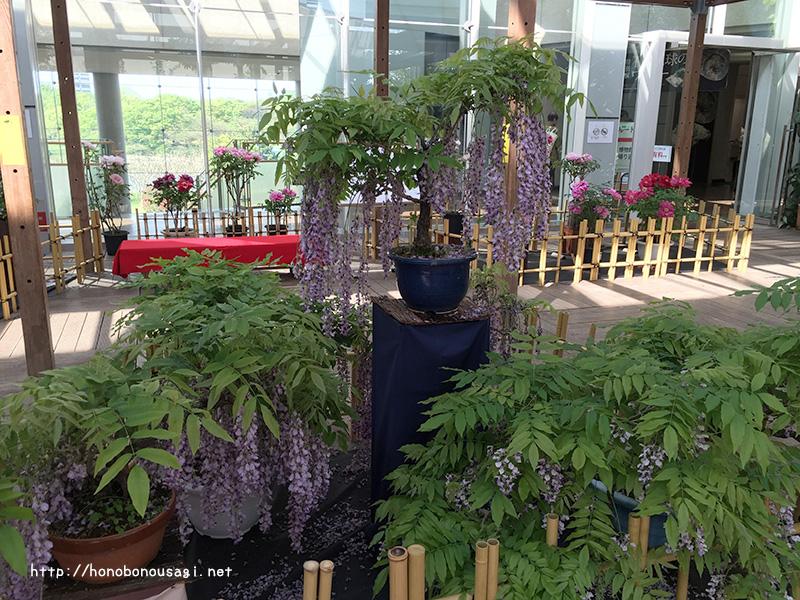長居植物園 藤の花 牡丹ボタンの花 ボタン展