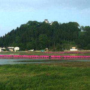 福井県大野市 大野城 芝桜