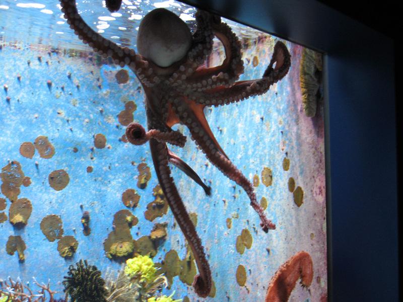 美ら海水族館 タコ