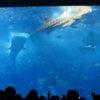 沖縄旅行記⑤美ら海水族館へ!迫力のあるジンベエザメと熱帯魚たちを堪能編