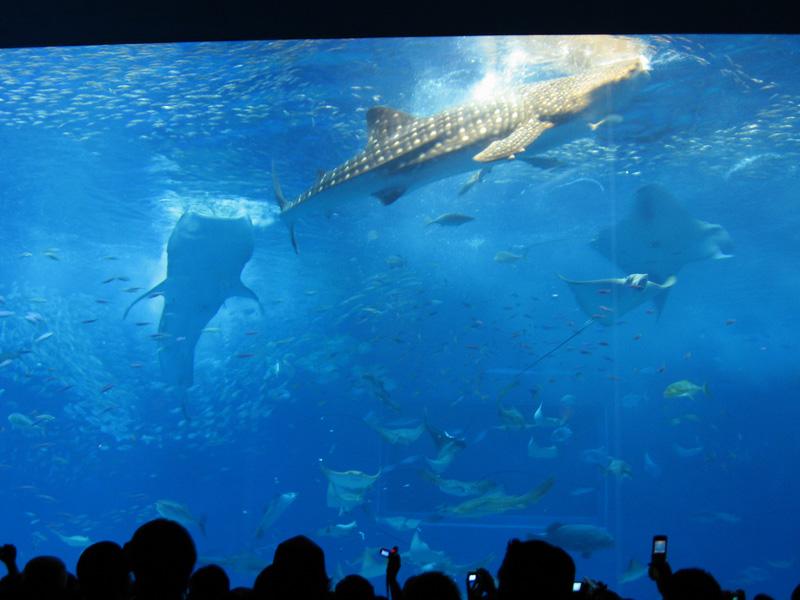 美ら海水族館 ジンベエザメ エサ