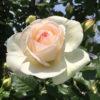 今年は早めの開花!中之島バラ園のバラが見頃になってるよ!!