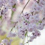大阪城公園の桜の写真を撮りに行ってきました